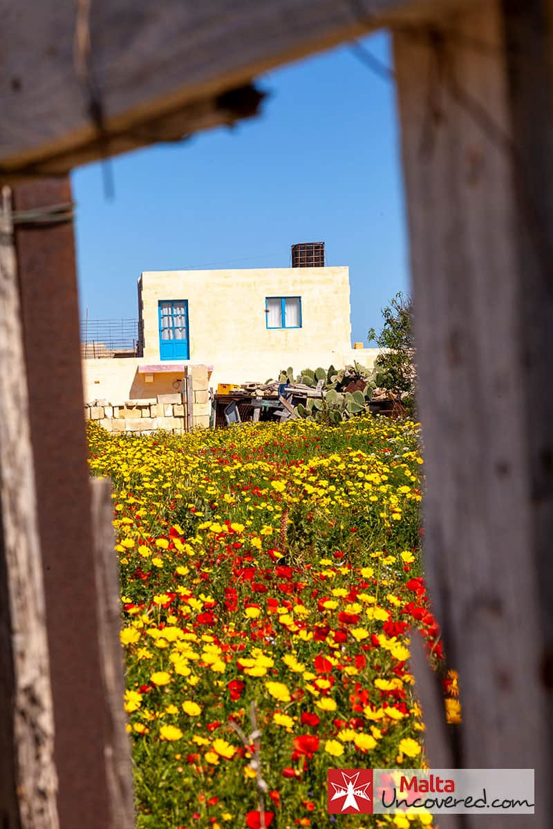Bright colours come out with springtime weather in Gozo.